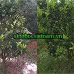 Đâu là thời điểm tốt nhất để xử lý bệnh vàng lá thối rễ ?