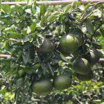 Hướng dẫn chăm sóc cây có múi theo hướng sinh học bền vững