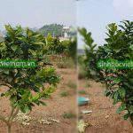 Cách phục hồi bệnh vàng lá thối rễ bền vững