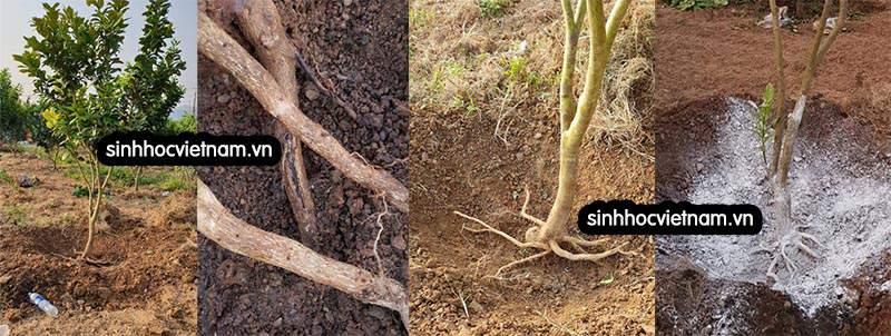 phục hồi cây bị vàng lá thối rễ