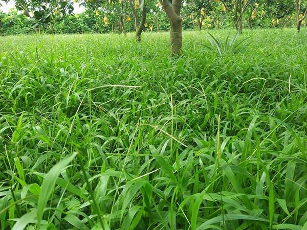trồng cỏ trong vườn cây có múi