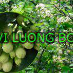 Bí quyết sử dụng vi lượng Bo giúp ra hoa đậu quả tốt nhất