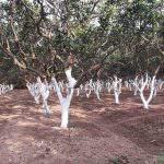 Tỉa cành tạo tán, kích rễ cho cây có múi sau thu hoạch