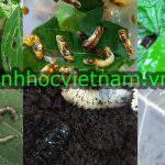 Nấm xanh, nấm trắng diệt trừ sâu, côn trùng bảo vệ lá non