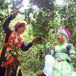 Cây cam đặc sản số 01 – Cam sành Hàm Yên, Tuyên Quang