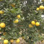 Cây cam đặc sản số 02 – Cam Vinh