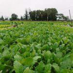 Phương pháp xử lý tuyến trùng hiệu quả trên đất trồng rau màu