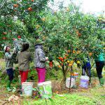 Bón phân làm hoa và chăm sóc cây cam sau thu hoạch