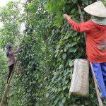 Nông dân được mùa tiêu nhưng mất giá.