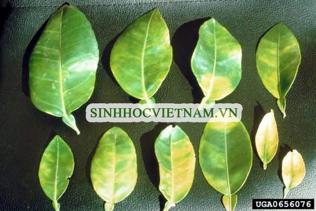 biểu hiện trên lá của bệnh vàng lá thối rễ