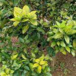 Triệu chứng và thuốc đặc trị bệnh vàng lá thối rễ