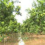 Chăm sóc cây có múi TRƯỚC – TRONG và SAU mùa mưa