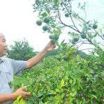 'Phù thủy' nông dân xem hướng để… trồng cam