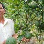cây ăn trái sạch bệnh cần cắt giảm hóa chất BVTV