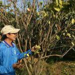 Tỉnh Đồng Tháp chi hơn 2,1 tỷ đồng 'cứu' cây có múi