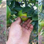 Đặc trị bệnh ghẻ, phòng chống dịch ghẻ trên cây có múi.
