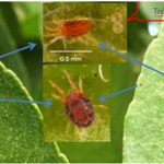 Canh chừng nhện đỏ trước mùa khô, lấy lại 3 phần năng suất