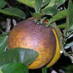 Các loại nhện nguy hiểm gây hại trên cây ăn trái