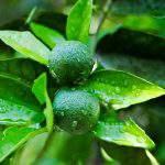 Bón phân đúng cách và chế độ dinh dưỡng thúc trái từ A – Z