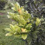 Cây cần phục hồi sau chữa bệnh vàng lá thối rễ?