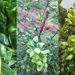 Cách xác định bệnh vàng lá thối rễ từ các biểu hiện trên lá