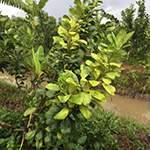 Dành cho cây vàng lá thối rễ