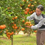 Chăm sóc cây ăn quả có múi sau khi thu hoạch