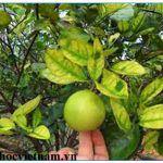 2 lý do tại sao cây có múi dễ bị vàng lá khi đang mang trái