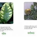Phân biệt các loại bệnh vàng lá trên cây có múi
