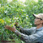 3 thời điểm nên phòng trị bệnh vàng lá thối rễ cho cây có múi