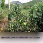 Bệnh héo xanh vi khuẩn trên cây cà chua