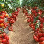 kỹ thuật trồng cây cà chua từ A đến z