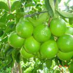 Quy trình trồng và chăm sóc chanh không hạt