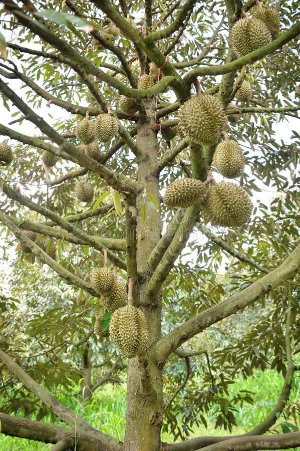 bệnh vàng lá sầu riêng