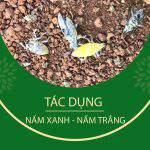 Cơ chế diệt trừ sâu của nấm xanh – nấm trắng