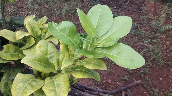 kết quả sau khi xử lý bệnh vàng lá thối rễ