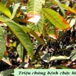 Cách xử lý bệnh cháy lá chết ngọn trên cây sầu riêng con