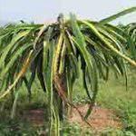 Bệnh thối nhũn trên cây Thanh Long và biện pháp chữa trị hiệu quả