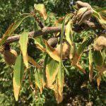Những vấn đề mà cây trồng gặp phải sau khi hạn mặn
