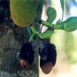 Cách phòng trị bệnh thối nhũn trên cây mít