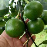 Cách tăng năng suất và chất lượng cây ăn trái