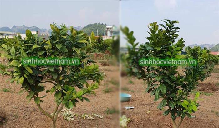 cây bưởi da xanh bị vàng lá thối rễ