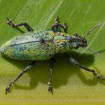 Phòng trừ câu cấu xanh và các loại côn trùng gây hại