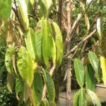 Cách cứu cây sầu riêng bị vàng lá thối rễ