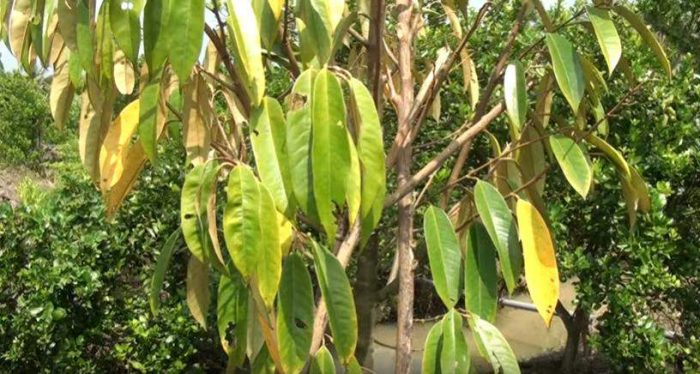 biểu hiện sầu riêng vàng lá thối rễ