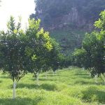 3 nguyên tắc khi xử lý cây có múi bị vàng lá thối rễ