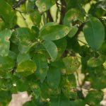 Nguyên nhân lan truyền bệnh ghẻ loét trên cây có múi