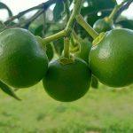 Tác dụng của 16 loại amino acid đối với cây ăn trái