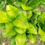 Thuốc đặc trị bệnh vàng lá thối rễ