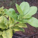Những nguyên nhân chính khiến cây trồng bị vàng lá